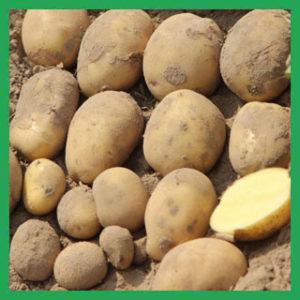 Картофель Аризона от производителей Астраханской области
